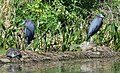 Little Blue Herons (34191907631).jpg