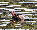 Little Grebe summer 300.jpg