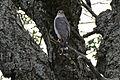 Little Sparrowhawk (Accipiter minullus) (17356320075).jpg