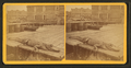 Live alligator, from Robert N. Dennis collection of stereoscopic views.png