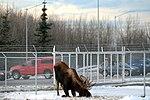 Living with wildlife, Moose 161101-F-SK378-0209.jpg