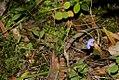 Lobelia flaccida (Lobeliaceae) (4809126361).jpg