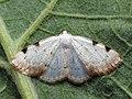 Lomographa bimaculata - White-pinion Spotted (40885329722).jpg