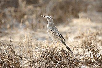 Pipit - The plumage colour of the long-billed pipit is typical of the genus, although this subspecies lacks the extensive streaking many other pipits, including other subspecies, have on the breast