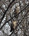 Long-eared Owl pair. AMSM0146.jpg