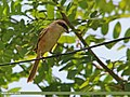 Long-tailed Shrike (Lanius schach) (15283510063).jpg