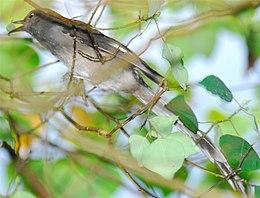 Burung Sibia Ekor Panjang
