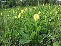 Lotus maritimus (var. siliquosus) sl27.jpg