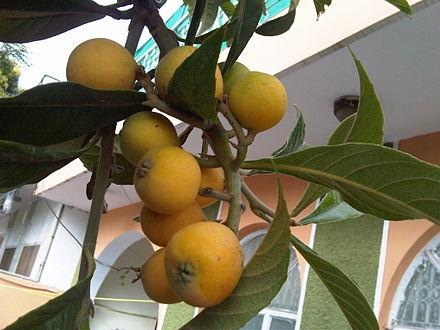 비파나무(Eriobotrya japonica)의 잎 추출물이 기도 염증(airway inflammation)을 완화
