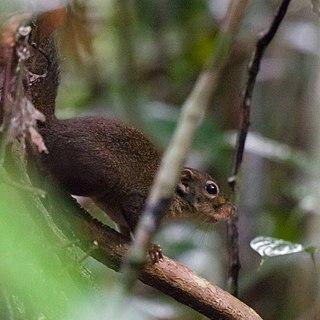 Lows squirrel