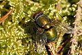 A metallic green blowfly.