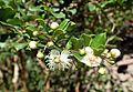 Luma apiculata kz5.jpg
