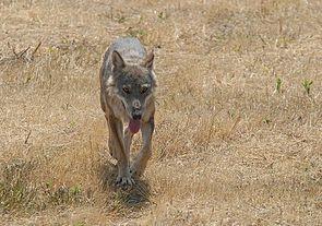 Italienischer Wolf (Canis lupus italicus)