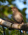 Luscinia luscinia vogelartinfo chris romeiks CHR3635.jpg