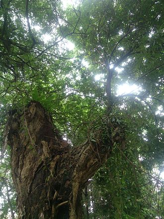 """Japanese Cemetery Park - The lychee tree at the Japanese Cemetery Park that is a designated """"heritage tree"""""""