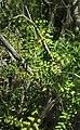 Lygodium reticulatum.jpg