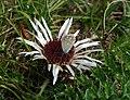 Lysandra bellargus on Carlina acaulis - Andechs, Bäckerbichl (Flora).04.jpg