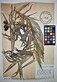 MNH DA 017-PAND-037 Freycinetia multiflora Merr.jpg