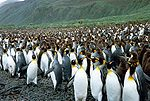 Large rookery of king penguins, both adult and young, on a pebbled beach, with grassy hills in background