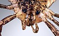 Macro portrait of a harvestman Opiliones.jpg