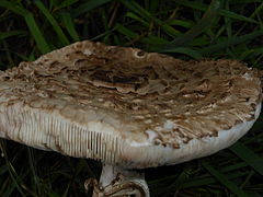 Macrolepiota procera - fairy ring - september 2013 11.JPG
