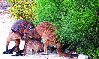 Western grey kangaroo - Family of Kangaroo Island kangaroos (Macropus fuliginosus fuliginosus) in springtime, Flinders Chase National Park, Kangaroo Island, South Australia