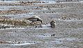 Magellanic plover (Pluvianellus socialis) (15336771294).jpg