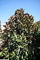Magnolia grandiflora Brackens Brown Beauty 2zz.jpg