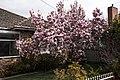 Magnolia in Redan, Victoria.jpg