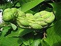 Magnolia x soulangeana 03 by Line1.jpg