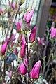 Magnolia x soulangiana Alexandrina 4zz.jpg