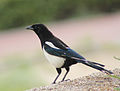 Magpie in Madrid (Spain) 112.jpg