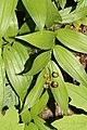 Maianthemum stellatum 0515.JPG
