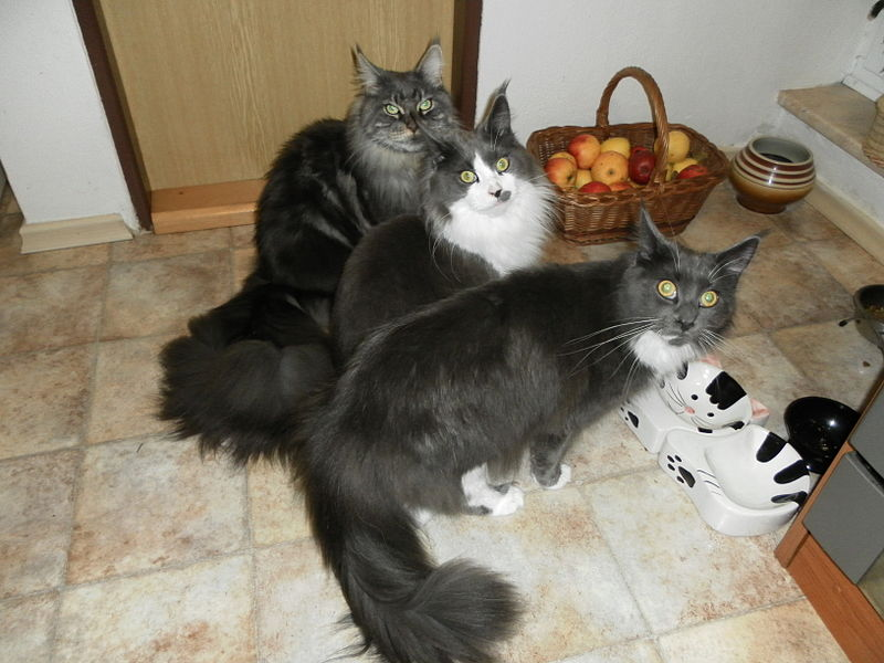 File:Maine Coon-very hungry.JPG