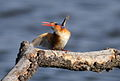 Malachite Kingfisher, Alcedo cristata at Marievale Nature Reserve, Gauteng, South Africa (14421943576).jpg