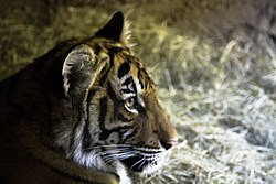 Tigre de Malaisie (Panthera tigris jacksoni)