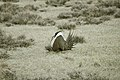 Male Greater Sage-Grouse (7094261915).jpg