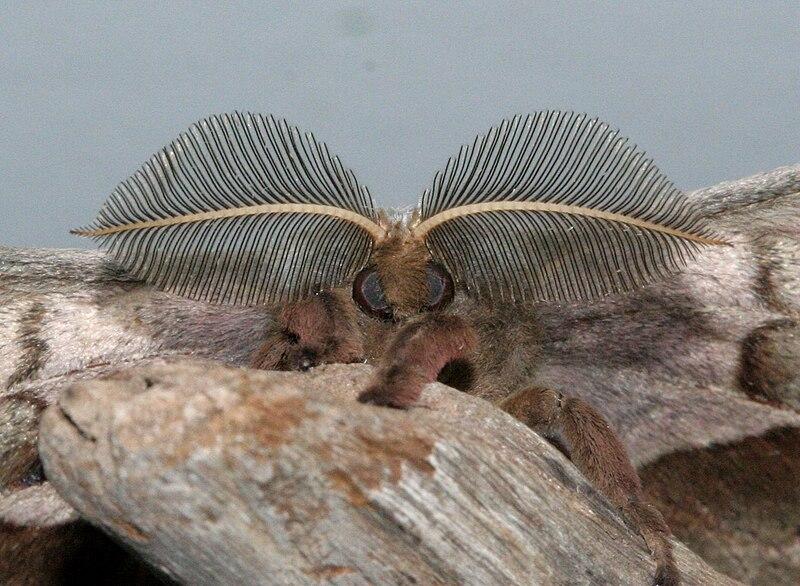 File:Male Polyphemus Moth antennae, Megan McCarty140.jpg