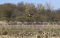Mallard Duck Takeoff 2 - panoramio.jpg