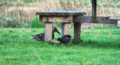 Mallard Duck and Moorhen at Newport Wetlands RSPB Reserve Visitor Centre.PNG