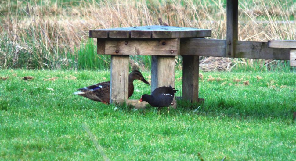 Mallard Duck and Moorhen at Newport Wetlands RSPB Reserve Visitor Centre