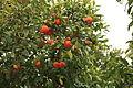 Malta - Siggiewi - Triq il-Buskett - Buskett Gardens 15 ies.jpg