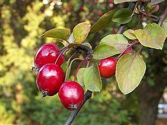 Malus floribunda - Red floribunda fruits