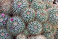 Mammillaria backebergiana, Christchurch Botanic Gardens, New Zealand 09.jpg