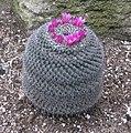 Mammillaria supertexta - JBM.jpg