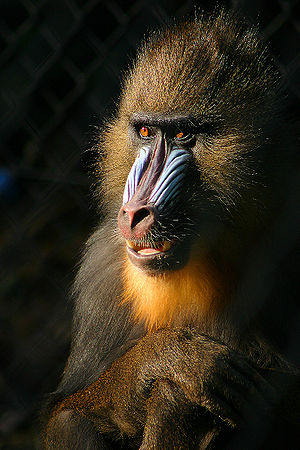 Mandrill - Close-up of a male mandrill's colorful face