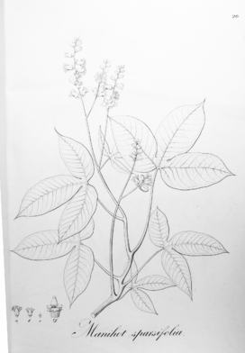 Manihot sparsifolia Pohl20.png