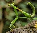 Mantis (11412674553).jpg