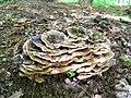 Many-zoned Polypore (Trametes versicolor) (3553579317).jpg