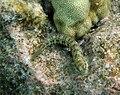 Marbled Blenny Entomacrodus marmoratus.jpg